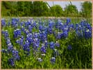Photography Bluebonnets of Texas State Flower Giclee Print on Canvas